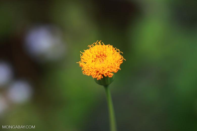 Golden flower [madagascar_1015]