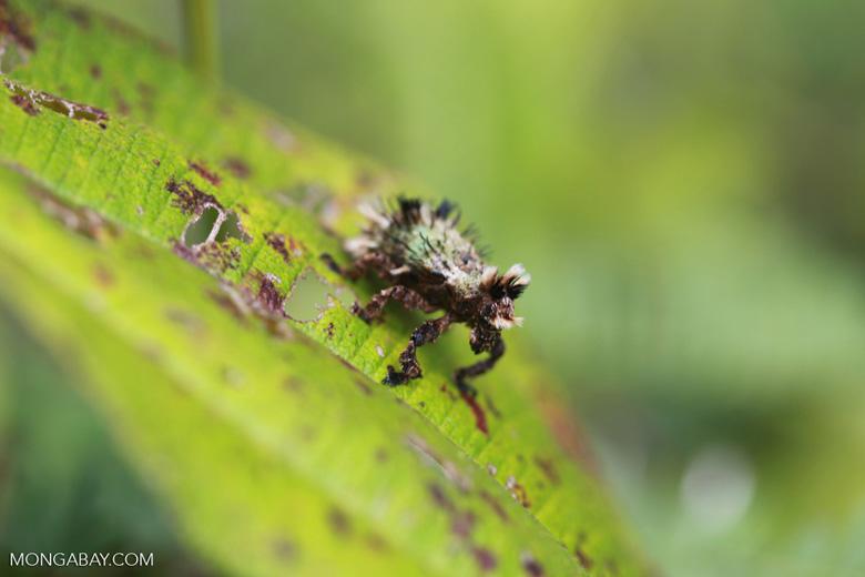 Hairy Lithinus weevil (Curculionidae) [madagascar_1047]