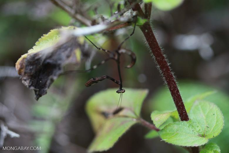 Brown praying mantis [madagascar_1053]
