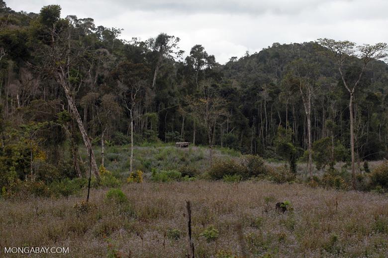 Forest clearing near Mantandia [madagascar_1068]