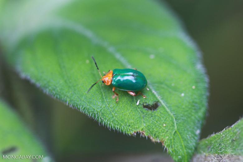 Green beetle with an orange head [madagascar_1078]