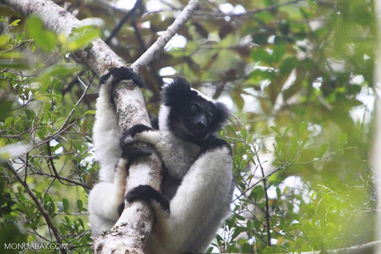Indri in Perinet [madagascar_1188]