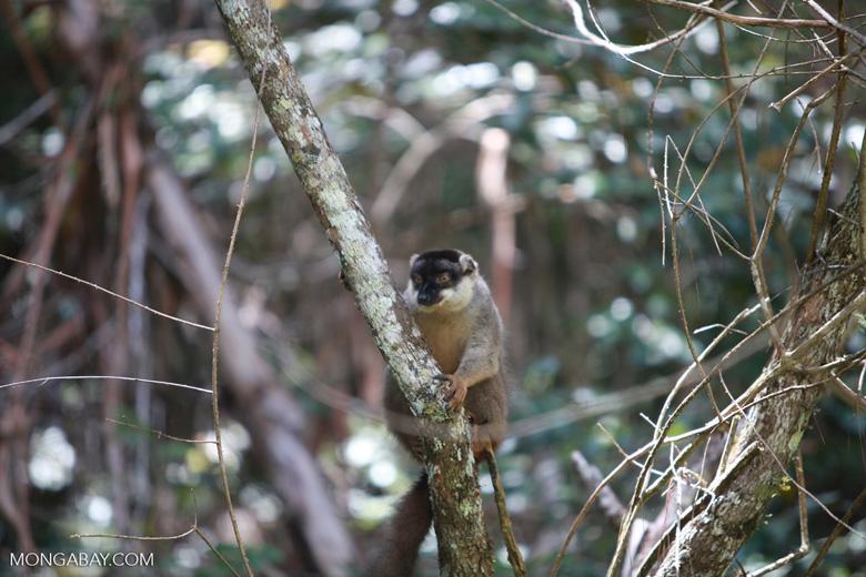 Common Brown Lemur (Eulemur fulvus) [madagascar_1258]