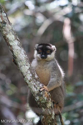 Common Brown Lemur (Eulemur fulvus) [madagascar_1264]
