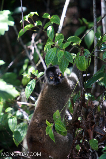 Common Brown Lemur (Eulemur fulvus) [madagascar_1272]
