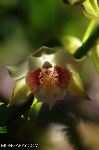Gastrorchis lutea orchid