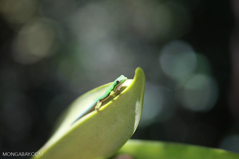 Lined Day Gecko (Phelsuma lineata) [madagascar_1280]