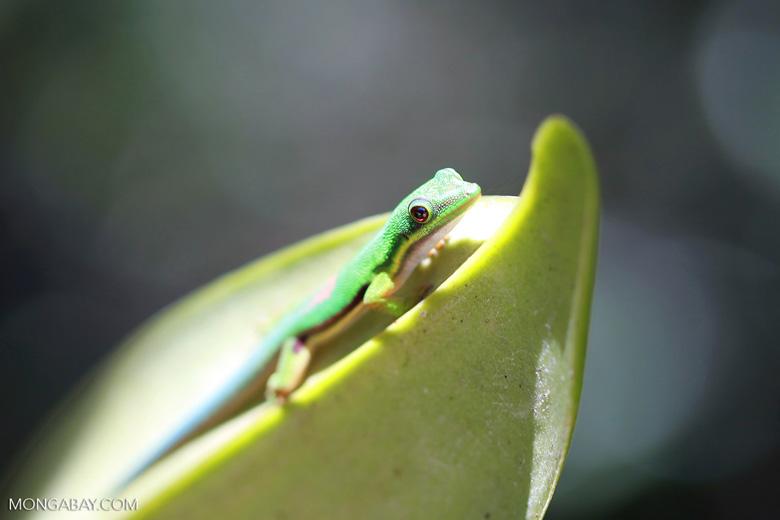 Lined Day Gecko (Phelsuma lineata) [madagascar_1281]