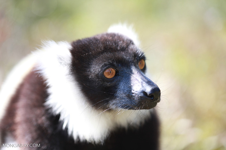 Black-and-white Ruffed Lemur (Varecia variegata) [madagascar_1322]