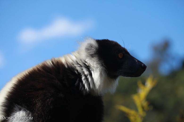 Black-and-white Ruffed Lemur (Varecia variegata) [madagascar_1323]