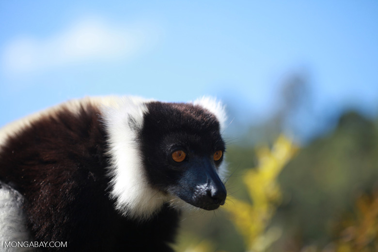 Black-and-white Ruffed Lemur (Varecia variegata) [madagascar_1324]