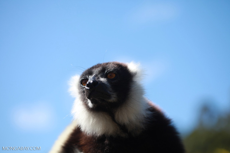 Black-and-white Ruffed Lemur (Varecia variegata) [madagascar_1327]