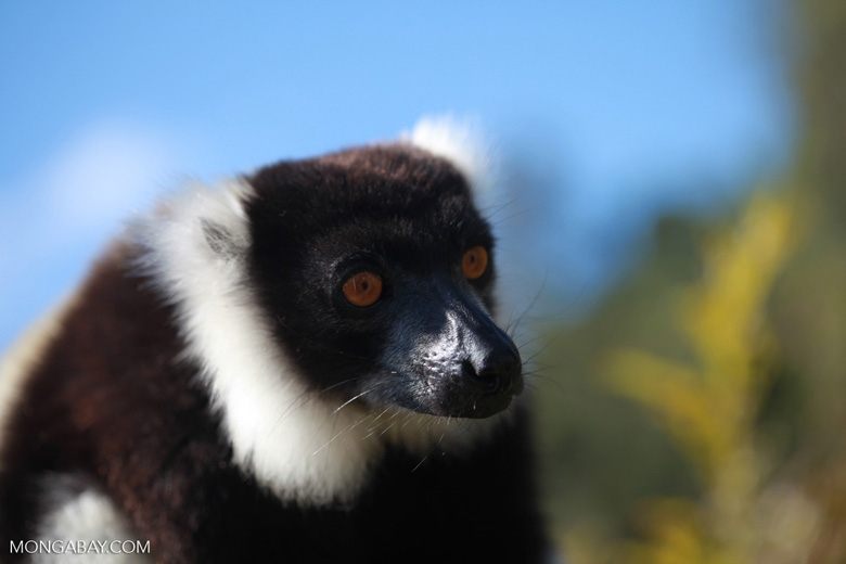 Black-and-white Ruffed Lemur (Varecia variegata) [madagascar_1331]