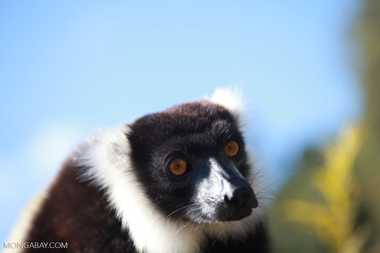 Black-and-white Ruffed Lemur (Varecia variegata) [madagascar_1332]