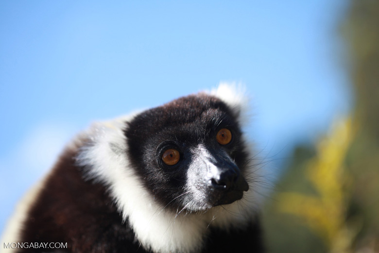 Black-and-white Ruffed Lemur (Varecia variegata) [madagascar_1334]