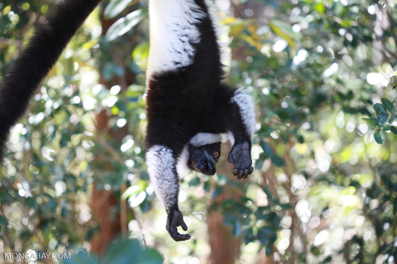 Black-and-white Ruffed Lemur hanging in a tree [madagascar_1342]