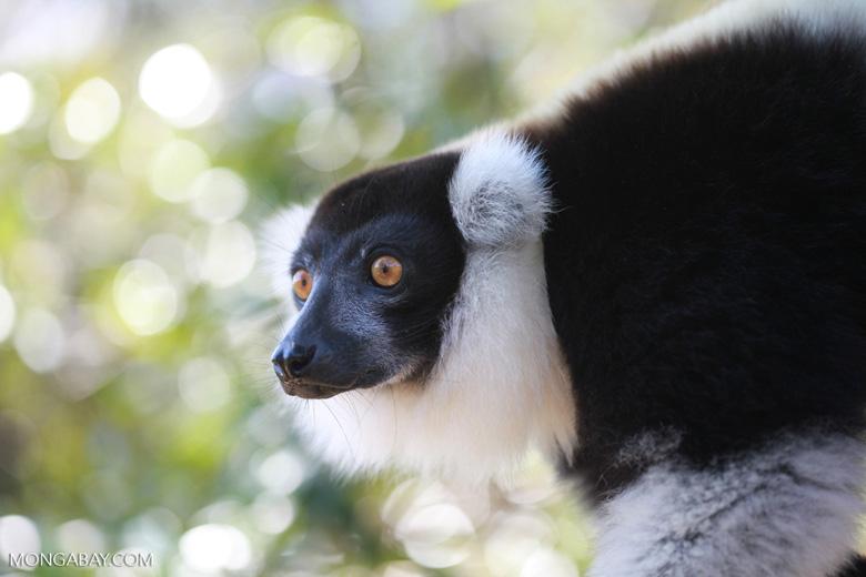 Black-and-white Ruffed Lemur (Varecia variegata) [madagascar_1351]