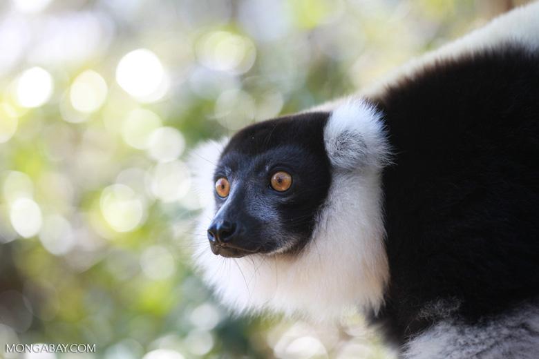 Black-and-white Ruffed Lemur (Varecia variegata) [madagascar_1352]