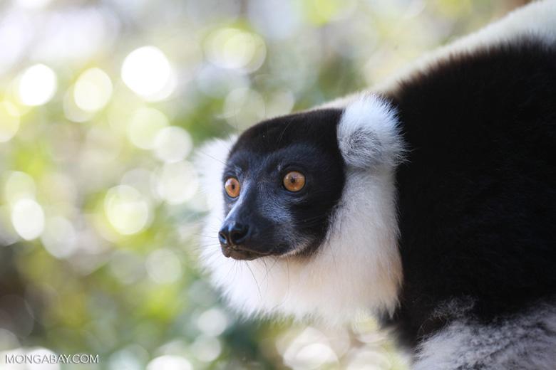 Black-and-white Ruffed Lemur (Varecia variegata) [madagascar_1353]