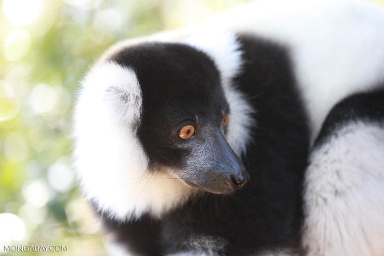 Black-and-white Ruffed Lemur (Varecia variegata) [madagascar_1356]