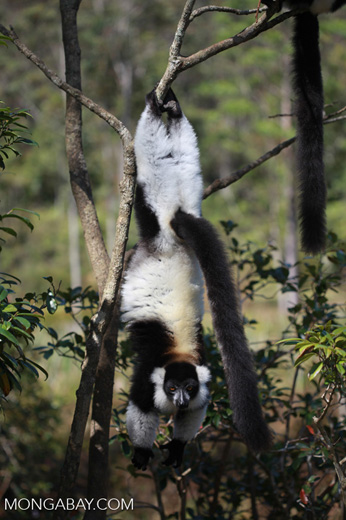Black-and-white Ruffed Lemur hanging in a tree [madagascar_1370]