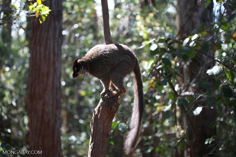 Common Brown Lemur (Eulemur fulvus) [madagascar_1411]