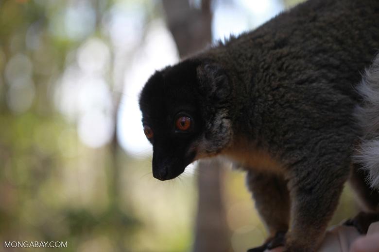 Common Brown Lemur (Eulemur fulvus) [madagascar_1415]
