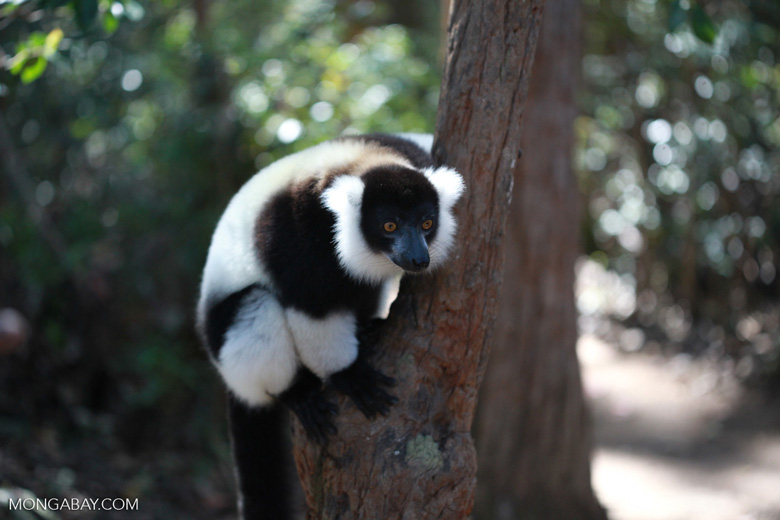 Black-and-white Ruffed Lemur hanging in a tree [madagascar_1423]