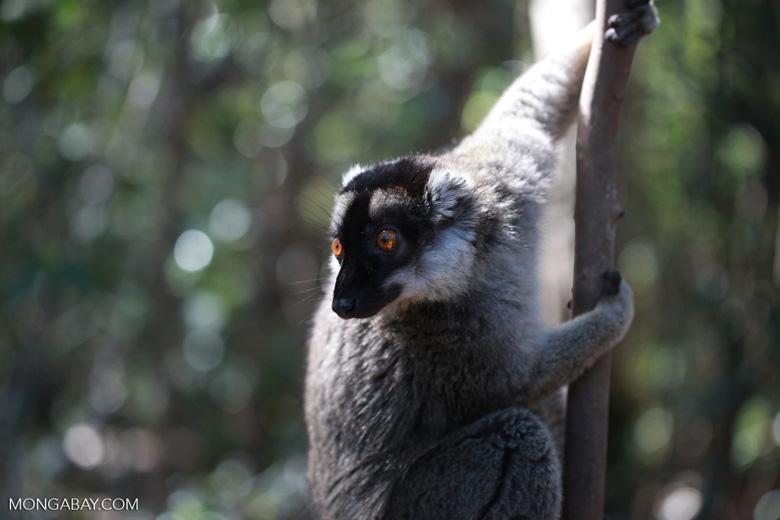 Common Brown Lemur (Eulemur fulvus) [madagascar_1424]