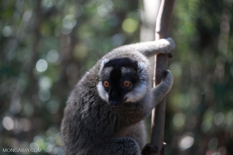 Common Brown Lemur (Eulemur fulvus) [madagascar_1426]