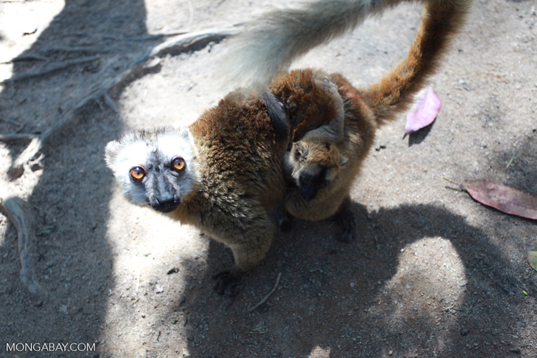 Mother Common Brown Lemur (Eulemur fulvus) with baby [madagascar_1435]