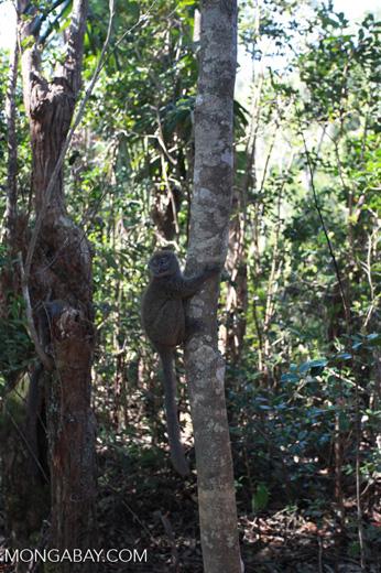 Eastern Lesser Bamboo Lemur (Hapalemur griseus) [madagascar_1447]