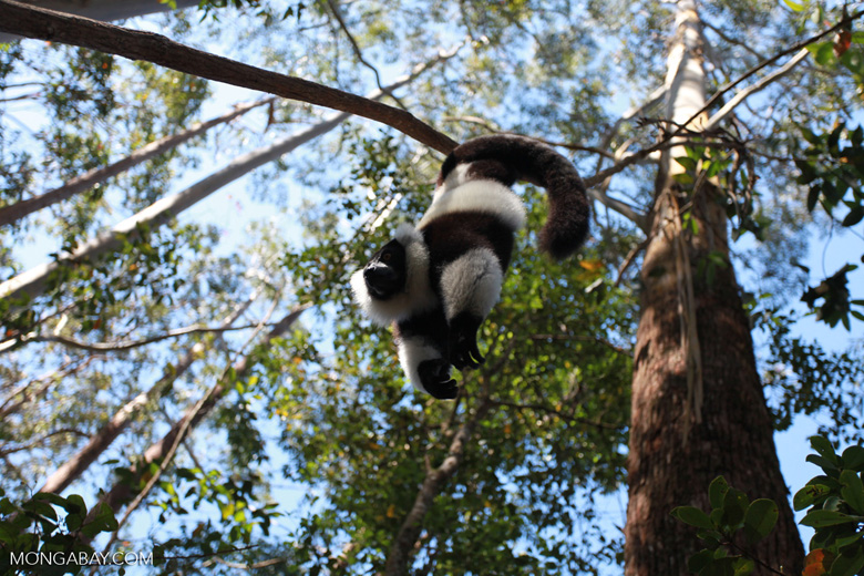 Black-and-white Ruffed Lemur hanging in a tree [madagascar_1455]