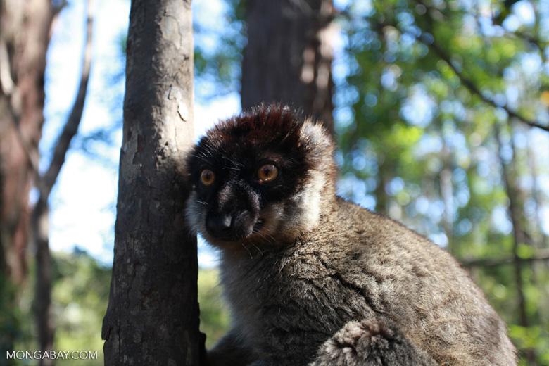 Male Common Brown Lemur (Eulemur fulvus) [madagascar_1465]