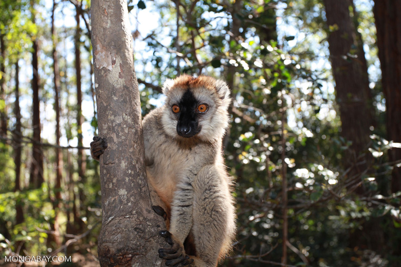 Red-fronted lemur (Eulemur rufifrons). Photo by Rhett A. Butler