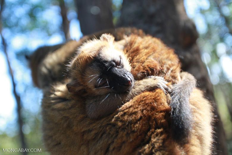 Baby brown lemur [madagascar_1482]