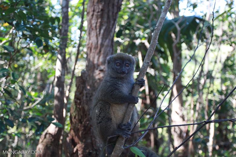 Gray Gentle Lemur (Hapalemur griseus) [madagascar_1485]