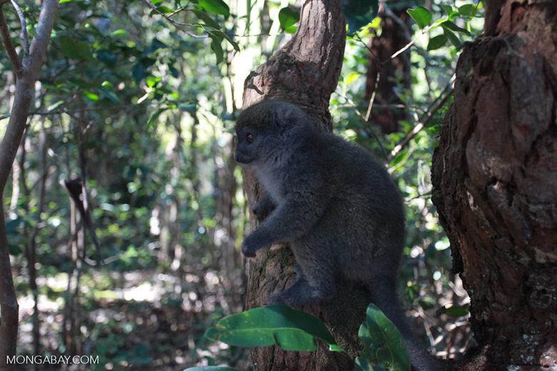 Eastern Lesser Bamboo Lemur (Hapalemur griseus) [madagascar_1500]