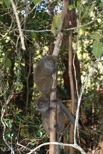 Gray Gentle Lemur (Hapalemur griseus) [madagascar_1517]