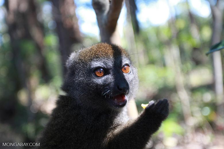 Eastern Lesser Bamboo Lemur (Hapalemur griseus) [madagascar_1526]