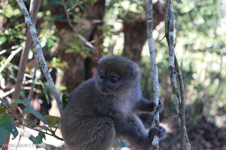 Eastern Lesser Bamboo Lemur (Hapalemur griseus) [madagascar_1529]