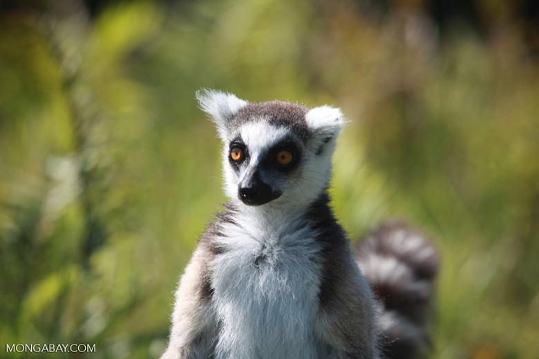Ringtailed lemur (Lemur catta)