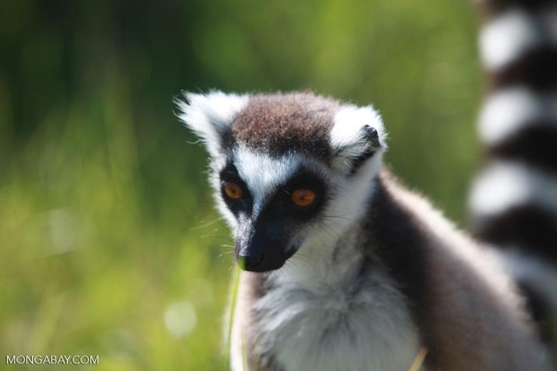 Ring-tailed lemur (Lemur catta) [madagascar_1544]