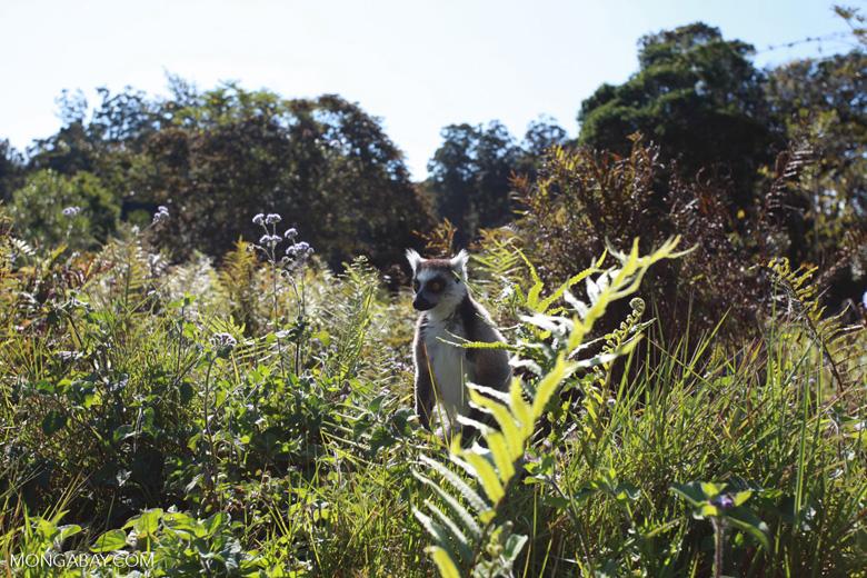 Ring-tail lemur (Lemur catta) [madagascar_1569]