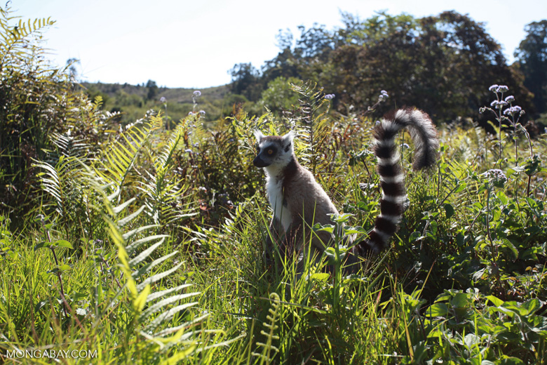 Ring-tail lemur (Lemur catta) [madagascar_1570]