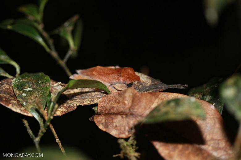 Frog [madagascar_1630]