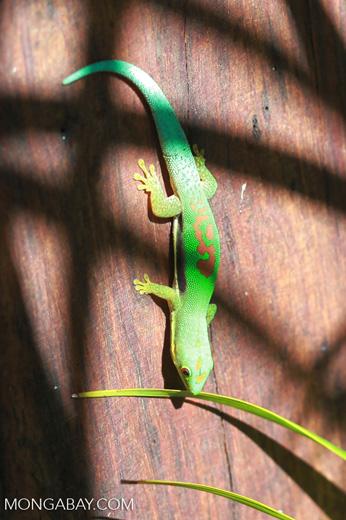 Lined Day Gecko (Phelsuma lineata) [madagascar_1857]