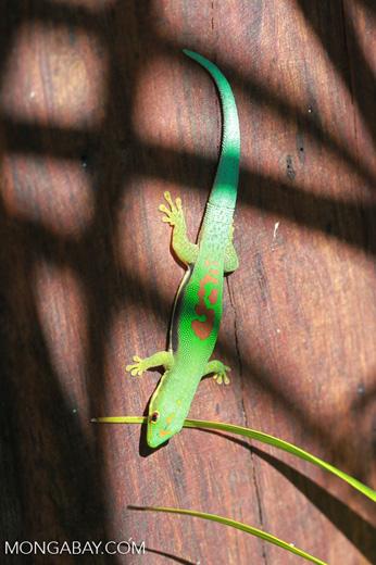 Lined Day Gecko (Phelsuma lineata) [madagascar_1858]