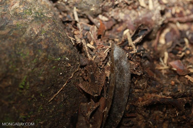 Frog [madagascar_1903]