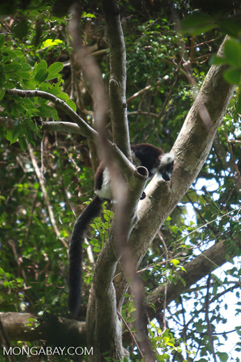 Black-and-white Ruffed Lemur (Varecia variegata) with radio collar